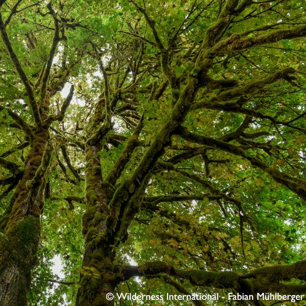Nachhaltigkeit bei KYZR_Dichte Moosmatten bedecken einen jahrhunderte alten Ahornbaum